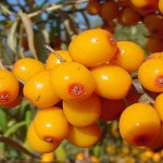 Small Group of Sea Buckthorn Berries