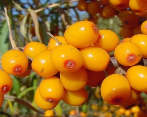 sbt berries 300x240 Dr. Oz Claims Sea Buckthorn Is A Miracle For Clearing Up Acne Prone Skin!