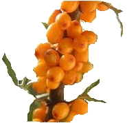Small Branch of Sea Buckthorn Berries
