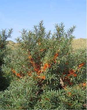 sbtbush A Brief Primer on Sea Buckthorn Seed Oil