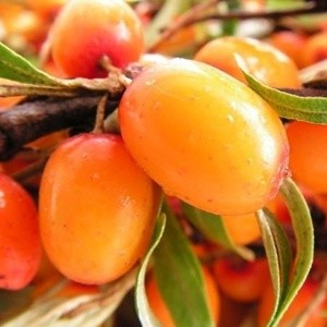 12 52 large1 Sea Buckthorn: An All Natural Inflammation Fighter?