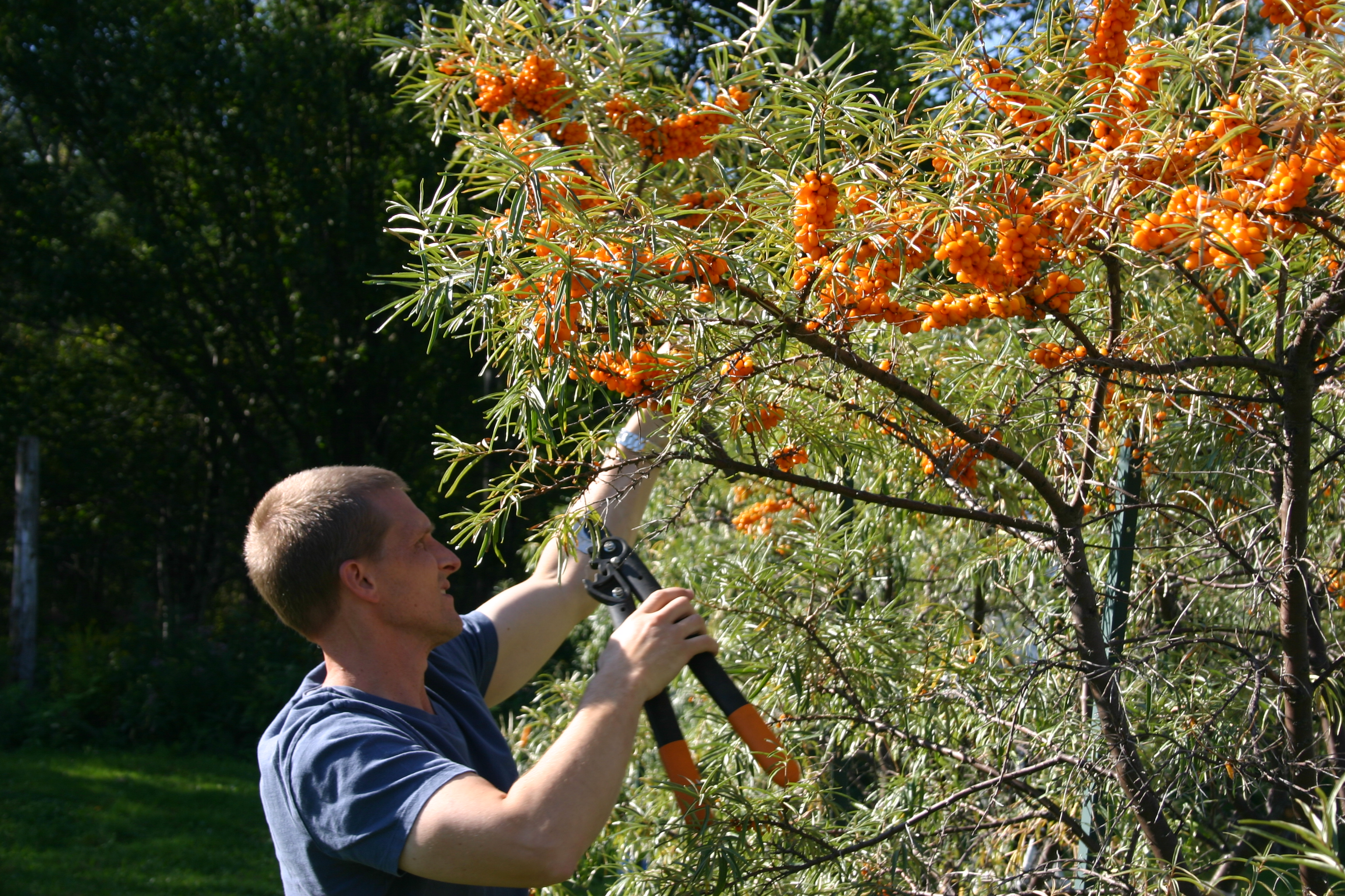 Sea buckthorn insider the cultivation of sea buckthorn for medicinal use - Growing sea buckthorn ...