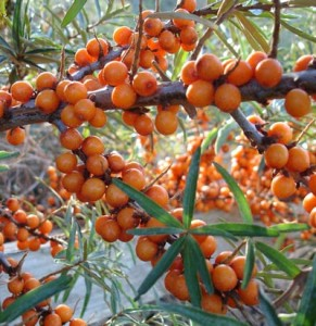 seabuckthorn1 291x300 Sea Buckthorn Berry and Sea Buckthorn Seed Oil