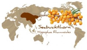 SBT geography1 300x173 Everything Sea Buckthorn