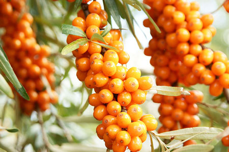 Sea buckthorn1 Sea Buckthorn Health Benefits