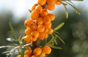 seabuckthornberrys on branch1 300x196 The Synergistic Health Benefits of Sea Buckthorn