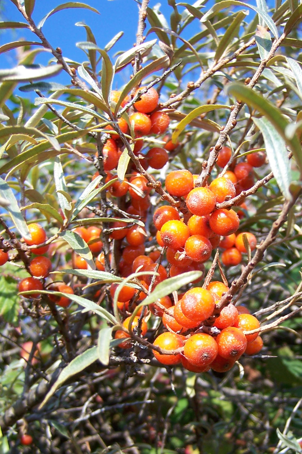 Sea buckthorn tree 39 s seabuckthorn plants shrubs - Growing sea buckthorn ...