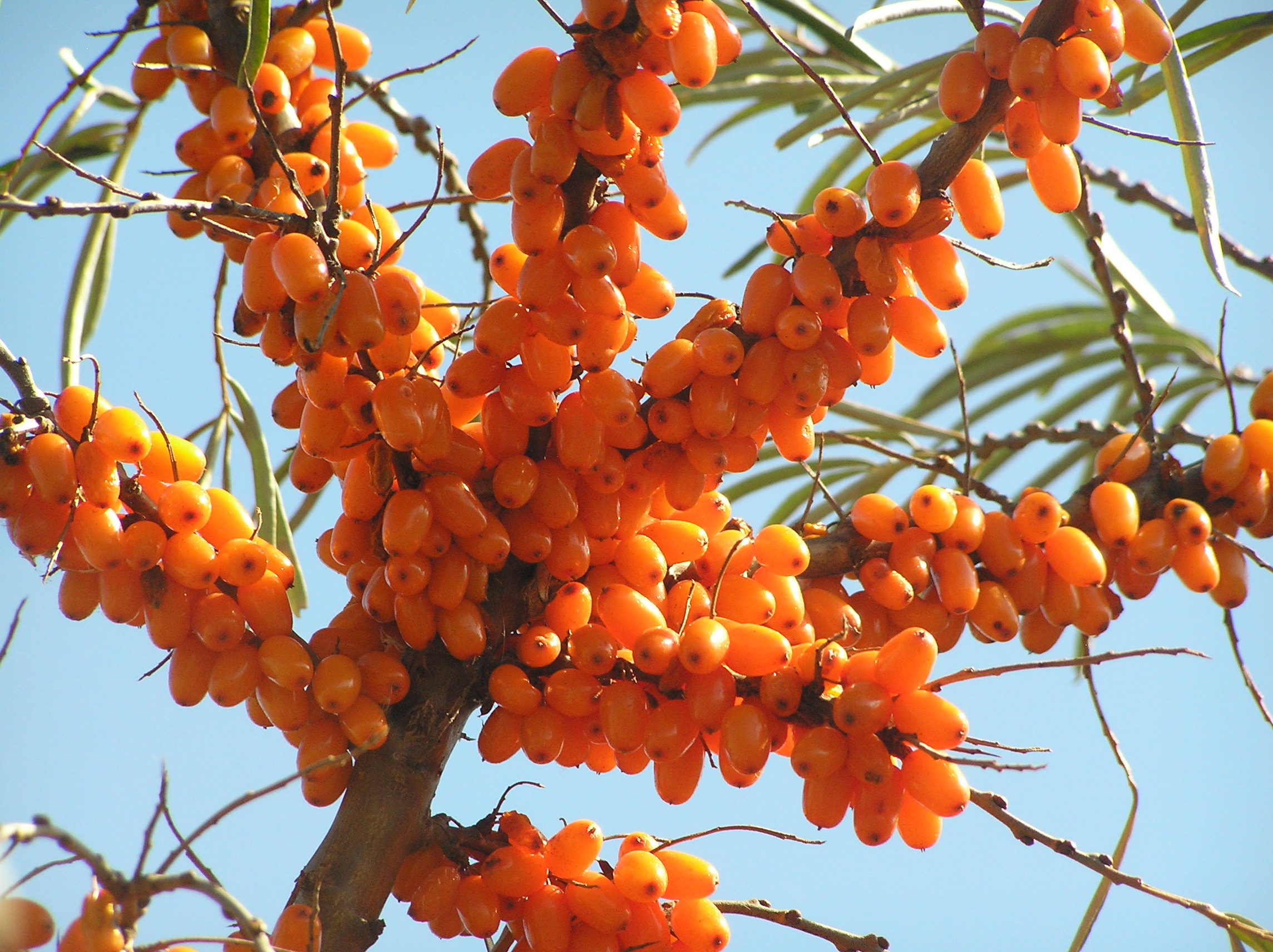 Sea buckthorn tree 39 s seabuckthorn plants shrubs for Soil erosion meaning in hindi