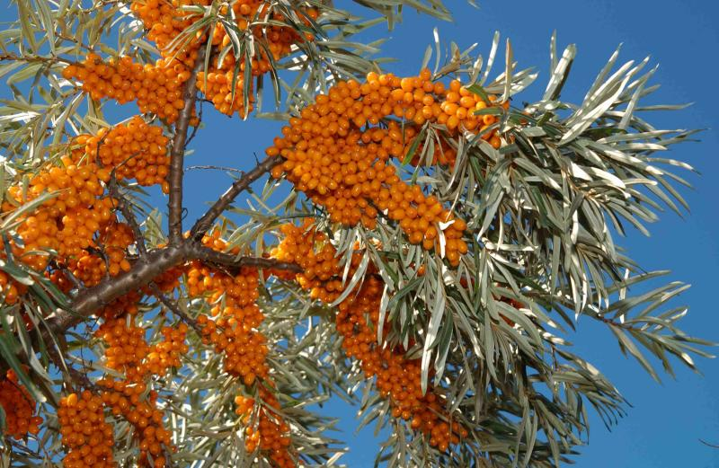 Species-Profile-Sea-Buckthorn04