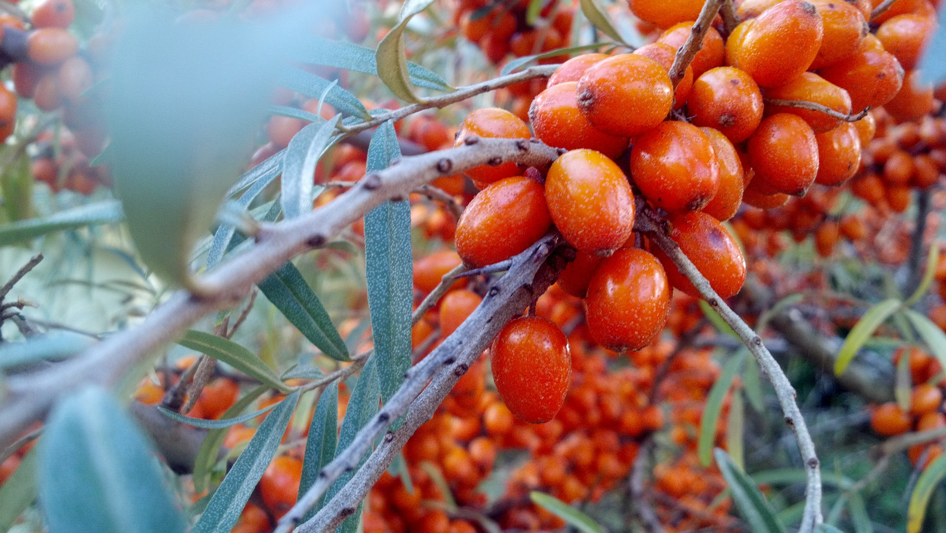 What does sea buckthorn taste like