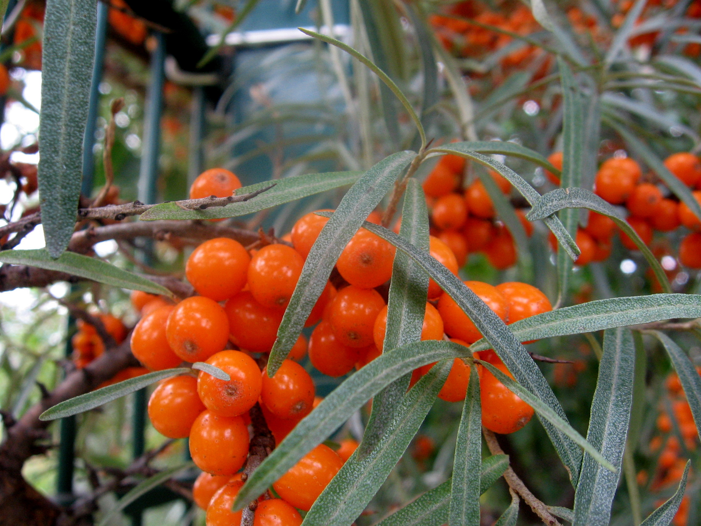 Seabuckthorn shrub sea buck thorn absorbs ultra violet rays - Growing sea buckthorn ...