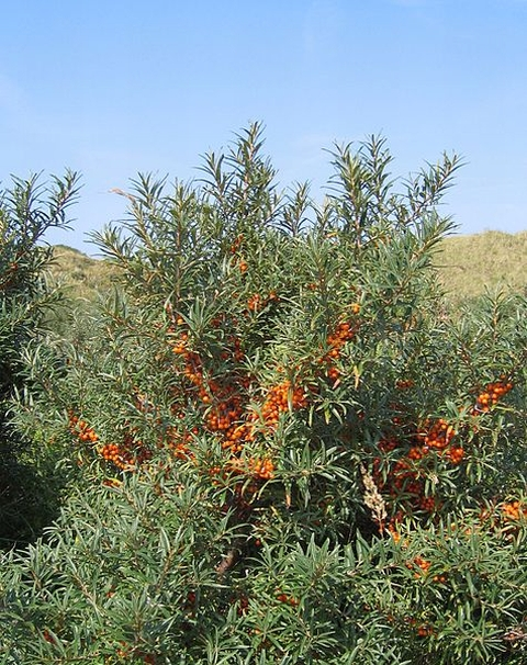 This is The West Country: Sea buckthorn growth is damaging Berrow Dunes local nature reserve