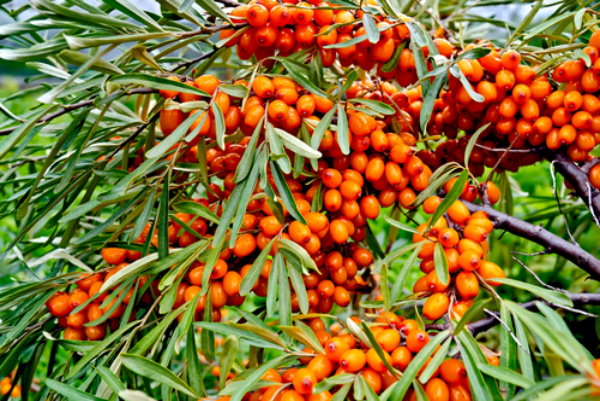 Herbal remedies are becoming common. Sea buckthorn may have some benefits.