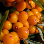 In this article, she talks about how she tried many different treatments but the one that helped her the most was Sea buckthorn. The Omega-7 sea buckthorn supplement she took has helped her regain comfort.